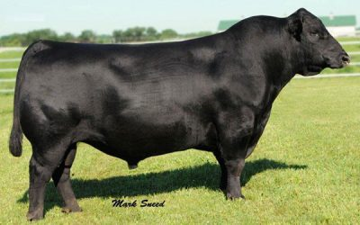 Angus Semen For Sale: Package MH10-428