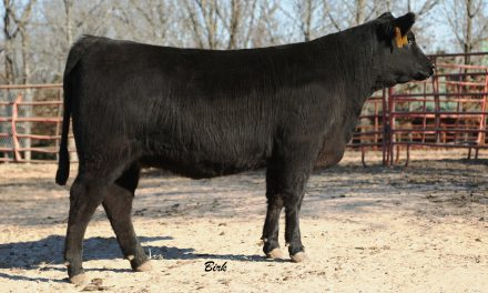 Angus Embryos For Sale: DHT Generation 626 Lena 115