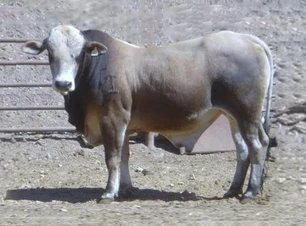 Bucking Bull Semen For Sale: Package KEWI10-261