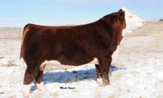 Hereford Semen For Sale: Package ATUGG10-269