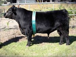 Aberdeen Semen For Sale: Package V10-421