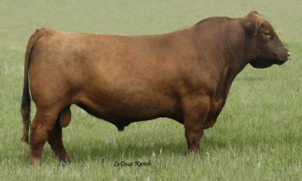 Red Angus Semen For Sale: Package BULB10-400