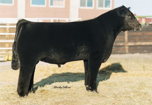 Club Calf Semen For Sale: SCASH10-36
