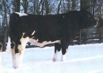 Maine Anjou Semen For Sale: Package MTENE10-267