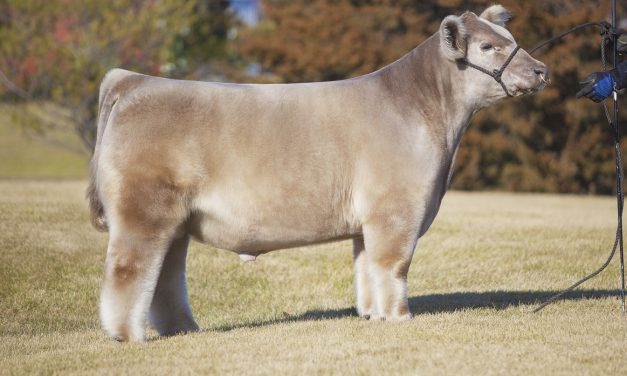 Club Calf Semen For Sale: SB10-1682
