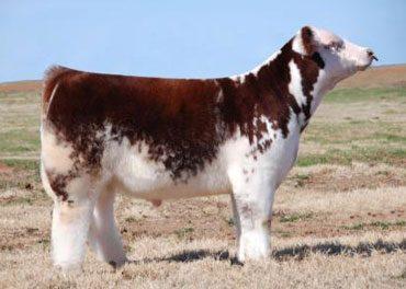 Club Calf Semen For Sale: Package AP10-155