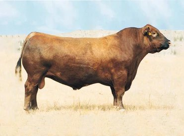 Red Angus Semen For Sale: Package MORG10-181