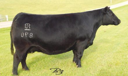 Angus Embryos For Sale: RB-GFC Lady Upshot 890-3138