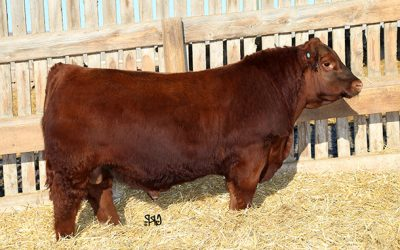 Red Angus Semen For Sale: Package TFLAM10-436