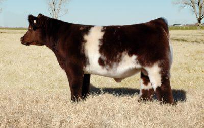 Club Calf Semen For Sale: SB10-831