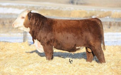 Hereford Semen For Sale: SB10-898