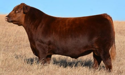 Red Angus Semen For Sale: Package BB10-100
