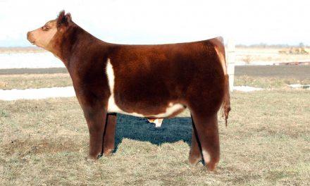 Club Calf Semen For Sale: Package JENGA10-259