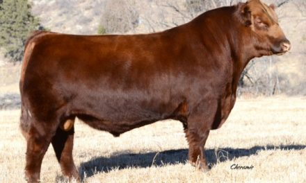 Red Angus Semen For Sale: BTOST10-120