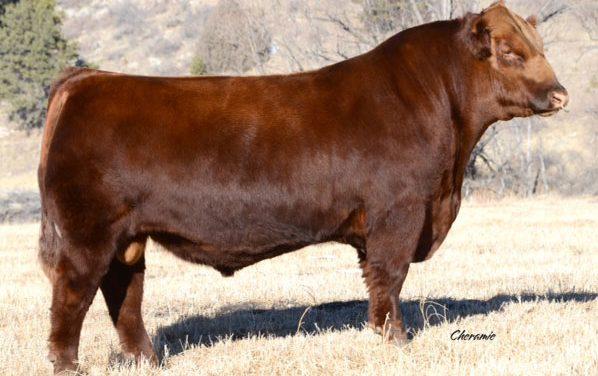 Red Angus Semen For Sale:  SB10-1749