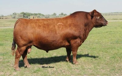 SEMEN WANTED: Red SSS Oly 554T