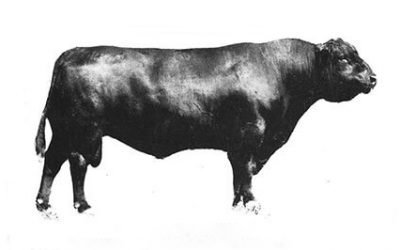 Angus Semen Wanted: Bull Group