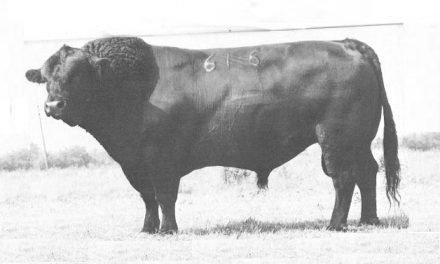 Angus Semen For Sale: LB10-620