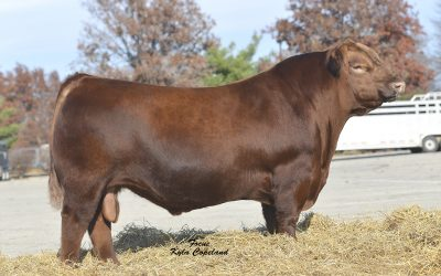 Red Angus Semen For Sale: ME10-609