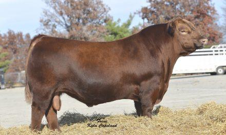 Red Angus Semen For Sale: SB10-1078