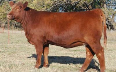 Red Angus Embryos For Sale: JKC Cherok 122X