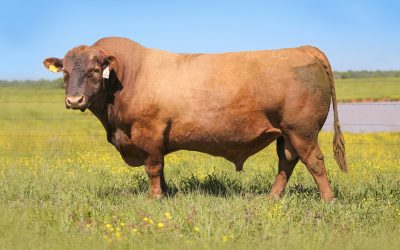 Red Angus Semen For Sale: SB10-941