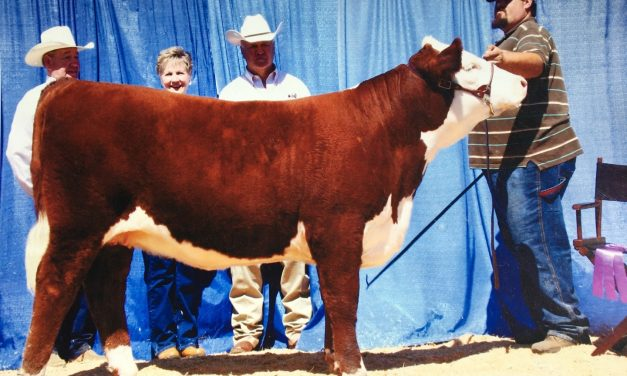 Hereford Embryos For Sale: C Loaded Lady 85S