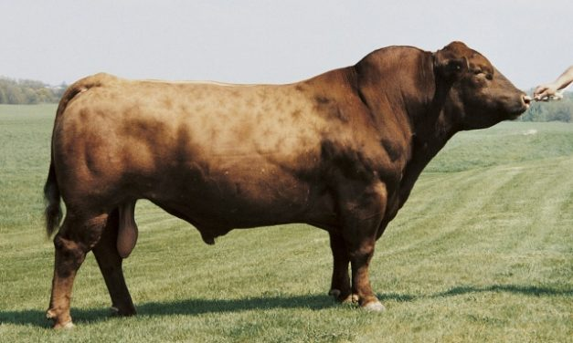 Red Angus Semen For Sale: SD10-669