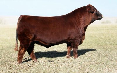 Red Angus Semen For Sale: SB10-754
