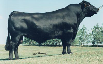 Angus Semen For Sale: SB10-857