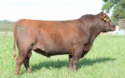 Red Angus Semen For Sale: SB10-1733