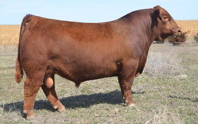 Red Angus Semen For Sale: SB10-1468