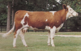 Simmental Embryos For Sale: SB10-1100