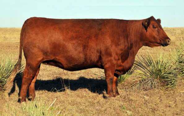 Red Angus Embryos For Sale: SB10-1108