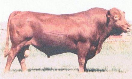 Red Angus Semen For Sale: SB10-1164