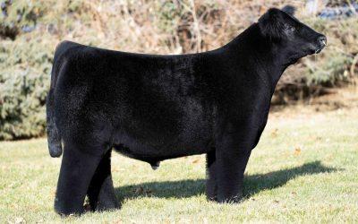 Club Calf Semen For Sale:  SB10-1269