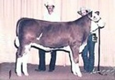 Simmental Embryos For Sale: SB10-1401