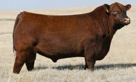 Red Angus Semen For Sale: SB10-1577